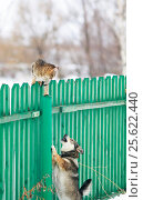 Angry dog chased the cat on a high wooden fence in the village. Стоковое фото, фотограф Бачкова Наталья / Фотобанк Лори