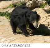 Купить «Indian Sloth bear, медведь губач, Московский зоопарк», фото № 25627232, снято 16 августа 2013 г. (c) ИВА Афонская / Фотобанк Лори