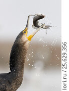 Купить «Cormorant (Phalacrocorax carbo) swallowing caught fish, Hungary January», фото № 25629356, снято 16 декабря 2018 г. (c) Nature Picture Library / Фотобанк Лори