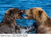 Купить «Дикие животные - медведь и медведица играют друг с другом в озере на Камчатке», фото № 25629524, снято 1 сентября 2016 г. (c) Николай Винокуров / Фотобанк Лори
