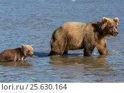 Купить «Дикая медведица ловит рыбу с медвежатами во время нереста на озере», фото № 25630164, снято 1 сентября 2016 г. (c) Николай Винокуров / Фотобанк Лори