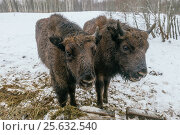 Two Small European Bisons in National Park (2017 год). Редакционное фото, фотограф Магадеева Елена / Фотобанк Лори