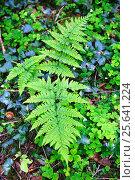Купить «Листья папоротника», фото № 25641224, снято 15 мая 2016 г. (c) Татьяна Кахилл / Фотобанк Лори