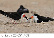Купить «Black skimmer (Rynchops niger), adult feeding fish to chick, Port Isabel, Laguna Madre, South Padre Island, Texas, USA. June», фото № 25651408, снято 21 августа 2018 г. (c) Nature Picture Library / Фотобанк Лори