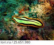 Купить «Плоский червь, остров Бали, Ловина риф, Индонезия», фото № 25651980, снято 9 сентября 2016 г. (c) Александр Огурцов / Фотобанк Лори