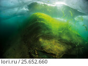 Thallus of filamentous algae (Spiragira and Ulothrix) under Ice, Lake Baikal, Siberia, Russia. Стоковое фото, фотограф Olga Kamenskaya / Nature Picture Library / Фотобанк Лори