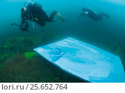 Купить «Divers helping painter paint image Lake Baikal Seal underwater,  Lake Baikal, Siberia, Russia. March.», фото № 25652764, снято 24 февраля 2019 г. (c) Nature Picture Library / Фотобанк Лори