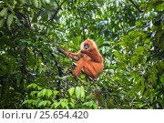 Maroon / Red leaf monkey / Langur (Presbytis rubicunda) eating fruits in tree, Danum Valley Conservation Area, Sabah, Borneo, Malaysia. Стоковое фото, фотограф Christophe Courteau / Nature Picture Library / Фотобанк Лори