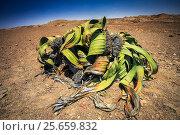 Welwitschia (Welwitschia mirabilis) endemic to Namibia, Namib Desert. Стоковое фото, фотограф Christophe Courteau / Nature Picture Library / Фотобанк Лори