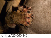 Купить «Lion (Panthera leo) close up of paw and claws gripping on to prey, at night, South Africa», фото № 25660140, снято 21 сентября 2018 г. (c) Nature Picture Library / Фотобанк Лори