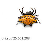 Купить «Thorn-back spider (Gasteracantha cancriformis) on white background, Costa Rica.», фото № 25661208, снято 15 июля 2020 г. (c) Nature Picture Library / Фотобанк Лори
