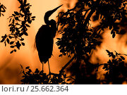 Купить «Great egret (Ardea alba) silhouet perched in a tree after sunset, Gambia Africa, May.», фото № 25662364, снято 19 мая 2019 г. (c) Nature Picture Library / Фотобанк Лори