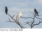 Купить «Great egret (Ardea alba) and two Reed cormorants (Microcarbo africanus) perched in a tree, Gambia Africa, May.», фото № 25662368, снято 20 мая 2019 г. (c) Nature Picture Library / Фотобанк Лори