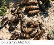 Купить «Еловые шишки лежат на песке», фото № 25662400, снято 16 августа 2008 г. (c) Светлана Кириллова / Фотобанк Лори
