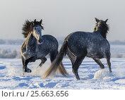 Две серых лошади играют в поле друг с другом. Стоковое фото, фотограф Абрамова Ксения / Фотобанк Лори