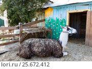 Лама. Стоковое фото, фотограф Алексей Аскаров / Фотобанк Лори