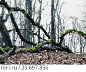 Купить «leafless trees in the forest, branches, covered with moss, winter», фото № 25697856, снято 24 июля 2005 г. (c) mauritius images / Фотобанк Лори