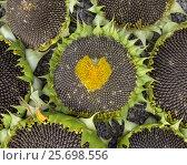 Купить «Сердце из небольших цветочков уже спелого подсолнуха», фото № 25698556, снято 19 августа 2016 г. (c) Нина Карымова / Фотобанк Лори