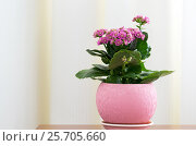 Купить «Blossoming Pink Kalanchoe in pot», фото № 25705660, снято 4 марта 2017 г. (c) Володина Ольга / Фотобанк Лори