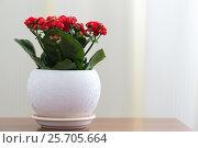 Купить «Red flowering Kalanchoe in white pot», фото № 25705664, снято 4 марта 2017 г. (c) Володина Ольга / Фотобанк Лори