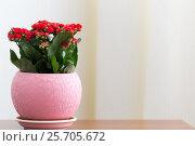 Купить «Red flowering Kalanchoe in pot», фото № 25705672, снято 4 марта 2017 г. (c) Володина Ольга / Фотобанк Лори