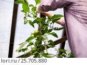 Купить «senior man tying up tomato seedling at greenhouse», фото № 25705880, снято 25 августа 2016 г. (c) Syda Productions / Фотобанк Лори