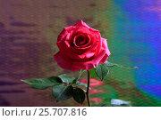 Купить «Роза», эксклюзивное фото № 25707816, снято 8 марта 2017 г. (c) Яна Королёва / Фотобанк Лори