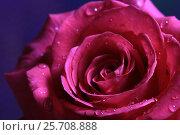Купить «Капли на лепестках розы», эксклюзивное фото № 25708888, снято 8 марта 2017 г. (c) Яна Королёва / Фотобанк Лори