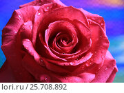 Купить «Розовая роза с каплями на лепестках крупно», эксклюзивное фото № 25708892, снято 8 марта 2017 г. (c) Яна Королёва / Фотобанк Лори