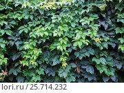 Купить «Девичий виноград. Стена заросшая густой зеленой лианой», фото № 25714232, снято 14 августа 2016 г. (c) Наталья Осипова / Фотобанк Лори