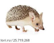 Купить «Hedgehog isolated on a white background», фото № 25719268, снято 7 марта 2017 г. (c) Алексей Кузнецов / Фотобанк Лори
