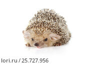 Купить «Hedgehog lying on a white background», фото № 25727956, снято 7 марта 2017 г. (c) Алексей Кузнецов / Фотобанк Лори