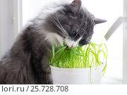 Кот ест траву. Стоковое фото, фотограф Альбина Ялунина / Фотобанк Лори