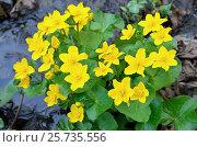 Купить «Marsh Marigold flowers», фото № 25735556, снято 7 мая 2016 г. (c) Надежда Нестерова / Фотобанк Лори