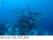 School of fish elongated unicornfish (Naso lopezi) on blue water background, Red Sea, Egypt. Стоковое фото, фотограф Некрасов Андрей / Фотобанк Лори