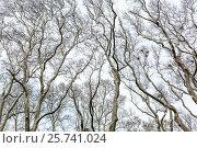Купить «Leafless trees on sky background», фото № 25741024, снято 6 февраля 2017 г. (c) Andriy Bezuglov / Фотобанк Лори