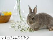 Купить «Easter bunny with flower on white background», фото № 25744940, снято 10 января 2017 г. (c) Wavebreak Media / Фотобанк Лори