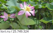 Купить «Lotus flower with pink petals close-up», видеоролик № 25749324, снято 28 февраля 2017 г. (c) Михаил Коханчиков / Фотобанк Лори