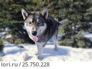Купить «Wolf in forest», фото № 25750228, снято 11 марта 2017 г. (c) Ольга Скворцова / Фотобанк Лори