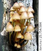 Купить «Грибы Мицена (Mycena)», фото № 25754584, снято 17 июня 2011 г. (c) Светлана Кириллова / Фотобанк Лори