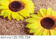 Купить «Yellow sunflowers on spilling grains of wheat», фото № 25755724, снято 22 октября 2016 г. (c) Андрей Липинский / Фотобанк Лори