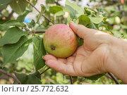 Купить «Яблоко на ветке и рука пожилой женщины», фото № 25772632, снято 9 августа 2014 г. (c) Александр Романов / Фотобанк Лори