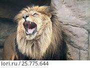 Лев разинул пасть. Стоковое фото, фотограф Parmenov Pavel / Фотобанк Лори
