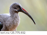 Купить «Hadada ibis (Bostrychia hagedash) portrait , captive in Zoo Parc de Beauval, France. Occurs in sub-Saharan Africa.», фото № 25775932, снято 20 марта 2019 г. (c) Nature Picture Library / Фотобанк Лори