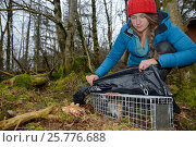 Купить «Catherine McNicol inspecting a Grey Squirrel (Sciurus carolinensis) she has caught in a live capture trap while monitoring the squirrel population in the...», фото № 25776688, снято 24 октября 2018 г. (c) Nature Picture Library / Фотобанк Лори