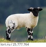 Blackface sheep lamb, Mull, Scotland. Стоковое фото, фотограф Niall Benvie / Nature Picture Library / Фотобанк Лори