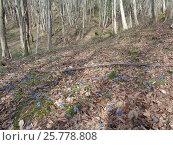 Купить «Голубые цветы пролески на полянке в весеннем лесу», фото № 25778808, снято 1 марта 2017 г. (c) DiS / Фотобанк Лори