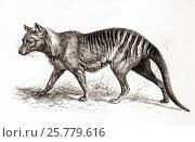 Купить «A thylacine,Thylacinus cynocephalus, aka Tasmanian tiger (because of its striped lower back) or Tasmanian wolf. From Meyers Lexicon, published 1924.», фото № 25779616, снято 20 февраля 2019 г. (c) age Fotostock / Фотобанк Лори