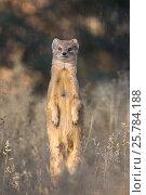 Купить «Yellow mongoose (Cynictis penicillata), Kgalagadi transfrontier park, South Africa, June», фото № 25784188, снято 12 июля 2020 г. (c) Nature Picture Library / Фотобанк Лори