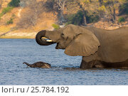 Купить «African elephant (Loxodonta Africana) mother with baby crossing river, Chobe river, Botswana, September», фото № 25784192, снято 5 июля 2020 г. (c) Nature Picture Library / Фотобанк Лори